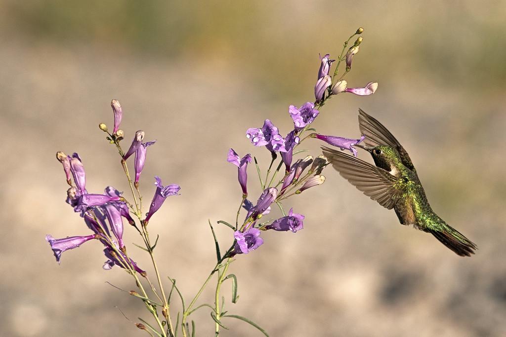 Broad-Tailed Hummingbird 10