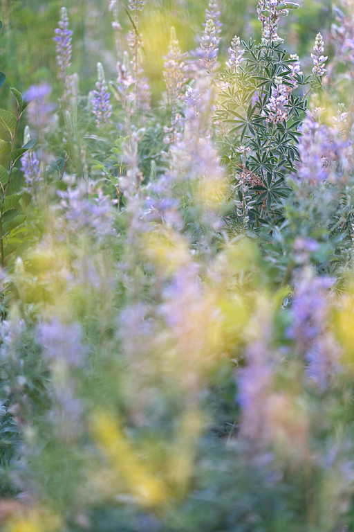 Utah Mountain Wildflowers 3