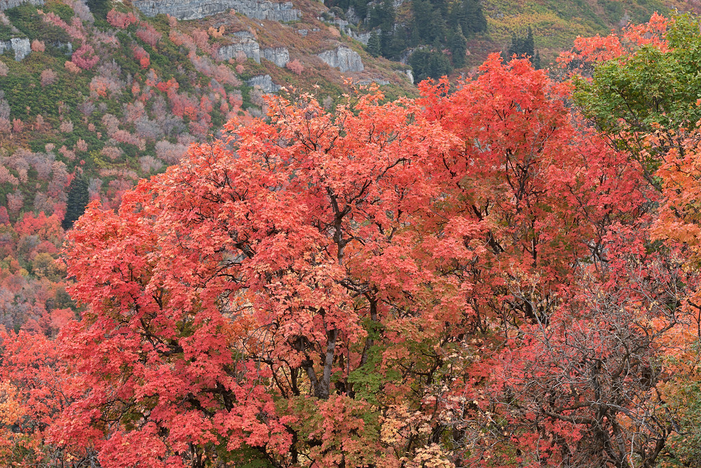 Cascade Mountain Maple