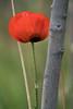 Lambert Park Poppies 06