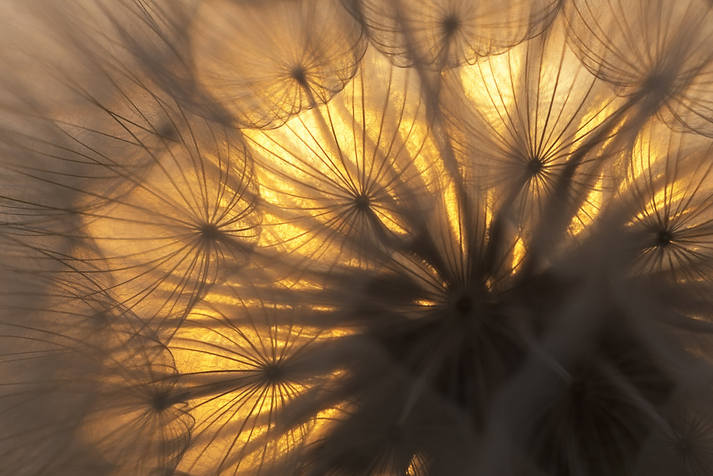Backlit Giant Dandelion