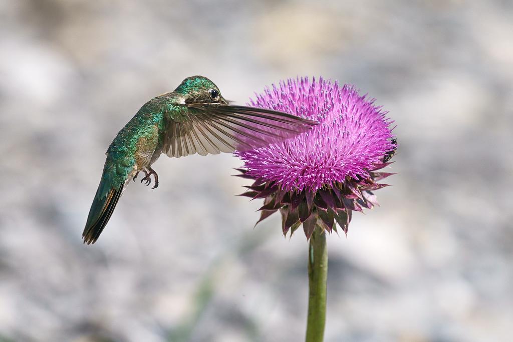 Broad-Tailed Hummingbird 02