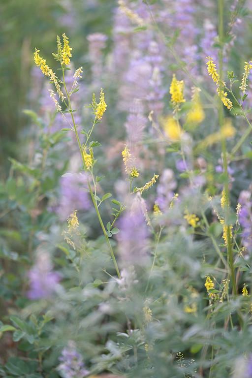 Utah Mountain Wildflowers 1