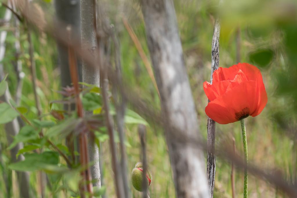 Lambert Park Poppies 03