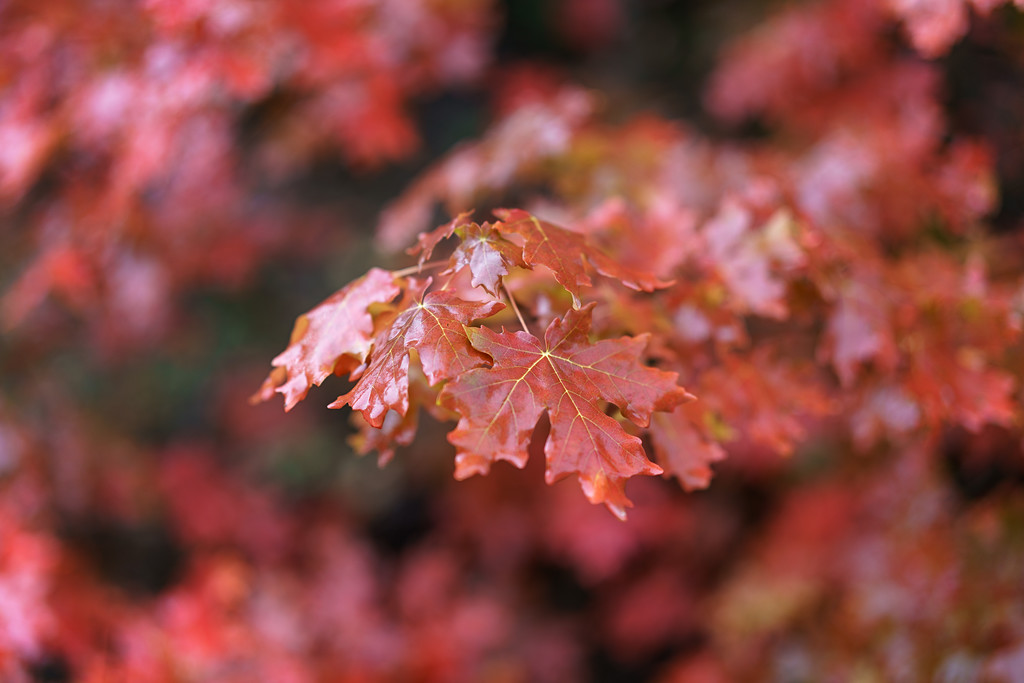 Wet Red Maples