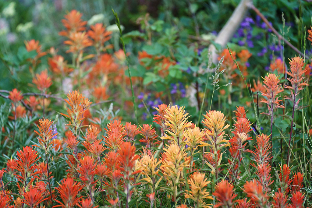Christ's Indian Paintbrush (Sawtooth Mountains)