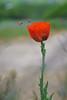 Lambert Park Poppies 13