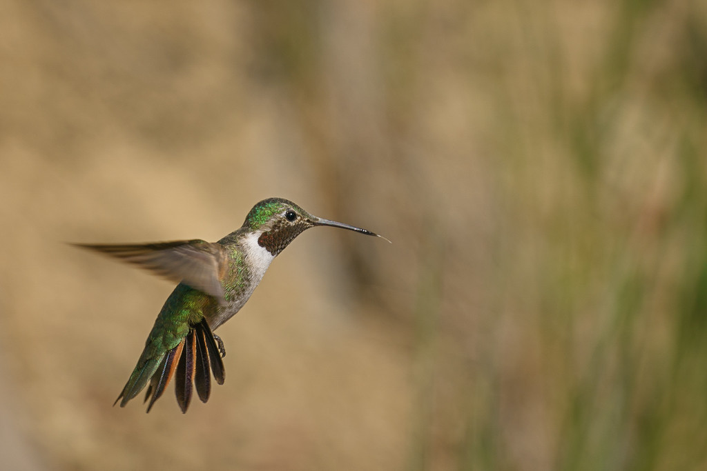 Broad-Tailed Hummingbird 04