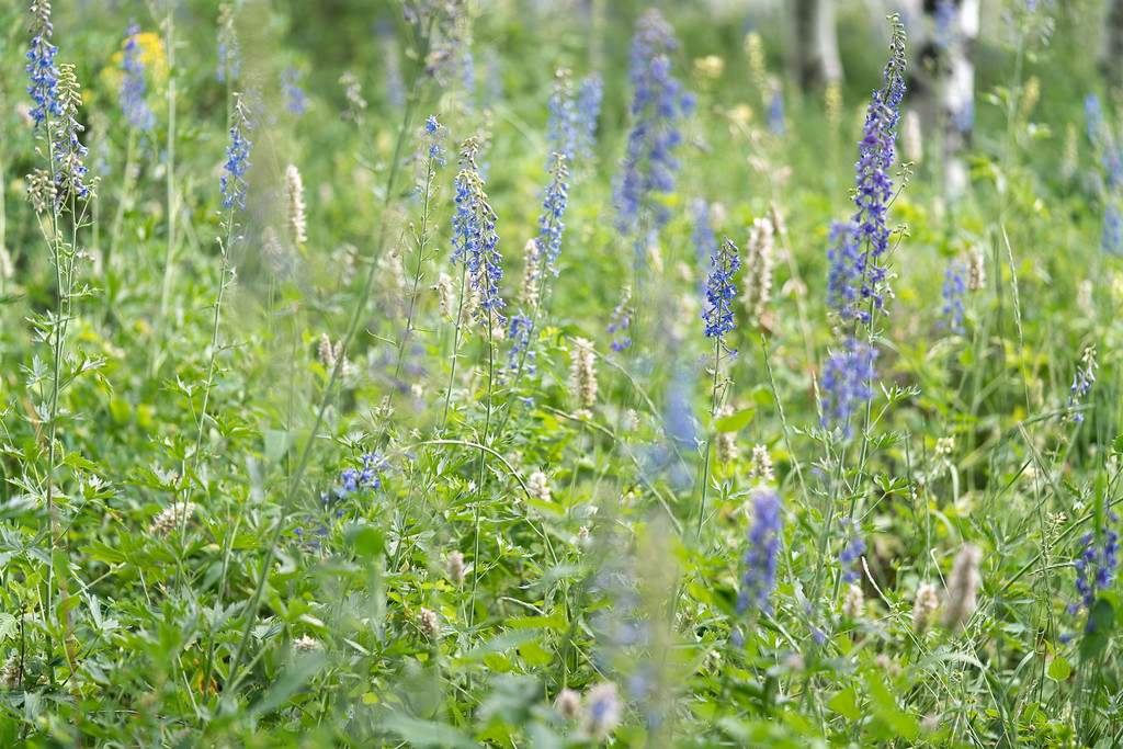 Patch of Larkspur