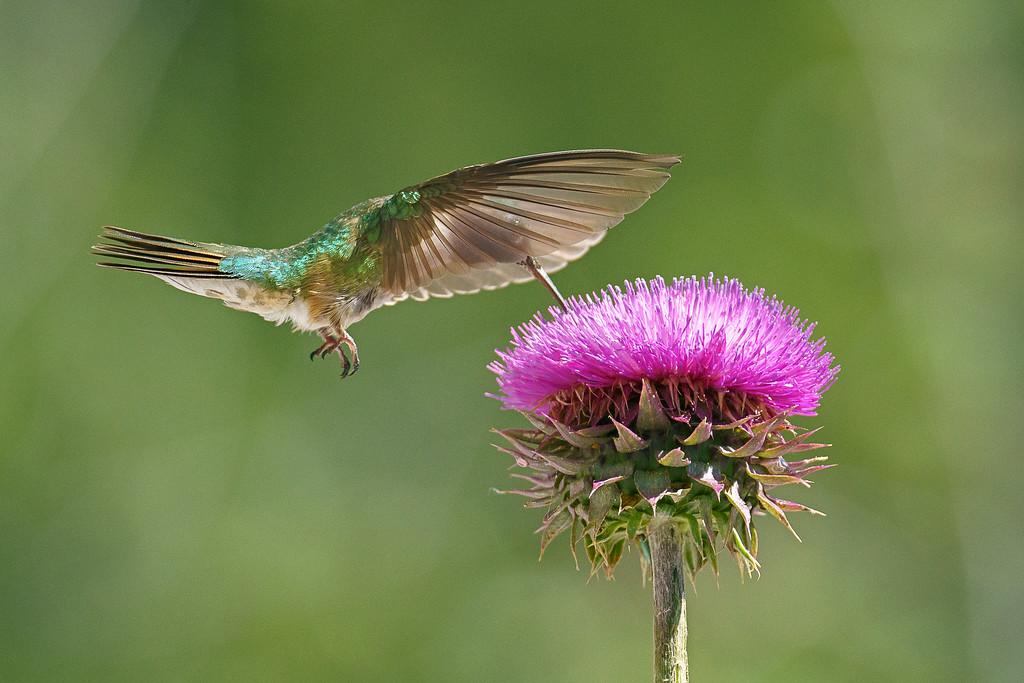 Broad-Tailed Hummingbird 01