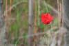 Lambert Park Poppies 08