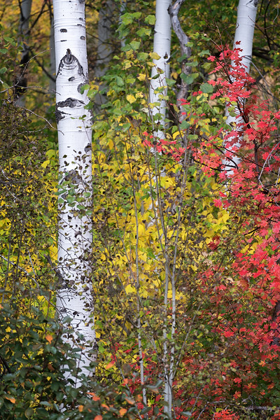 Maple and Aspen