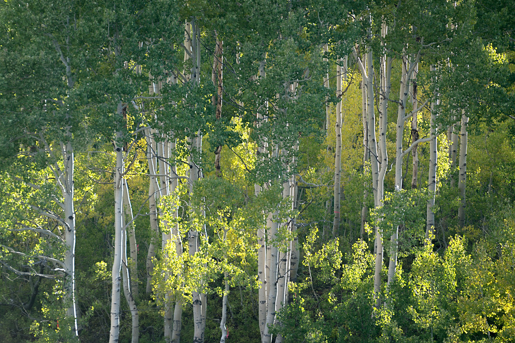 Aspen at Guardsman Pass