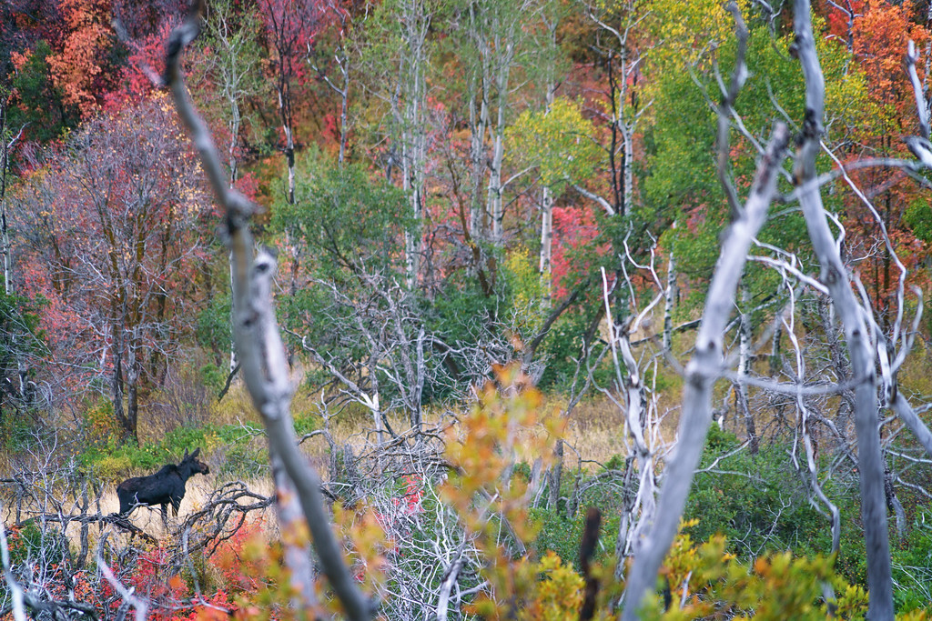 Moose in the Autumn Mountains