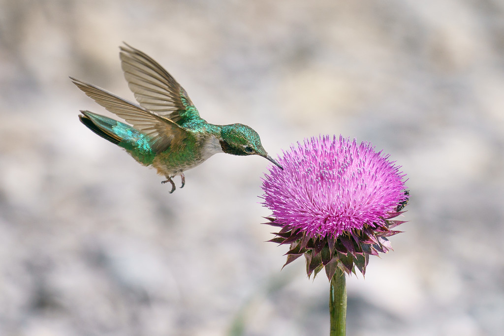 Broad-Tailed Hummingbird 03