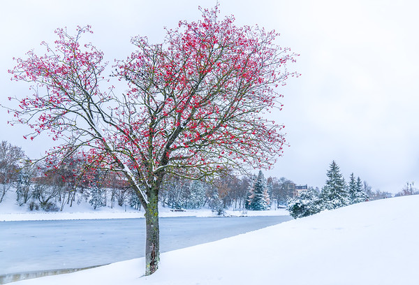 Red Berries on Snow