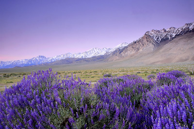 Lupine & the High Sierra