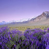 Lupine & the High Sierra