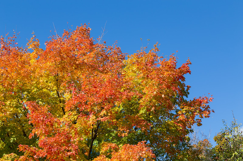 Colorful Maple Tree in the Fall