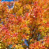 Closeup to a Maple Tree in the Fall