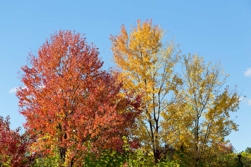 Colorful Maple Trees in the Fall