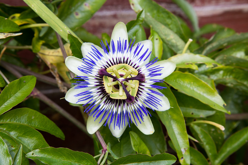 Closeup to a purple Passion flower