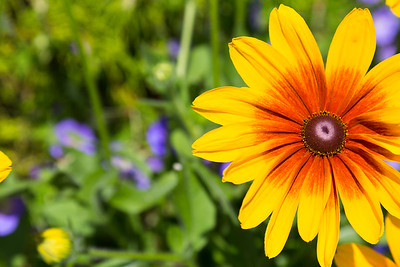 Bright Yellow rudbeckia Flower