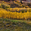 Row of Aspens