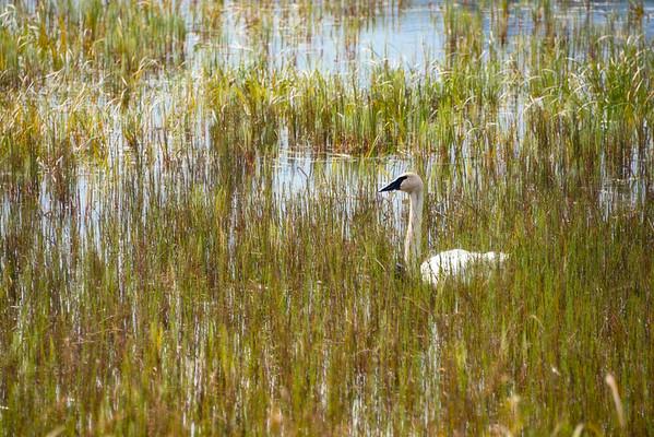 Swan V