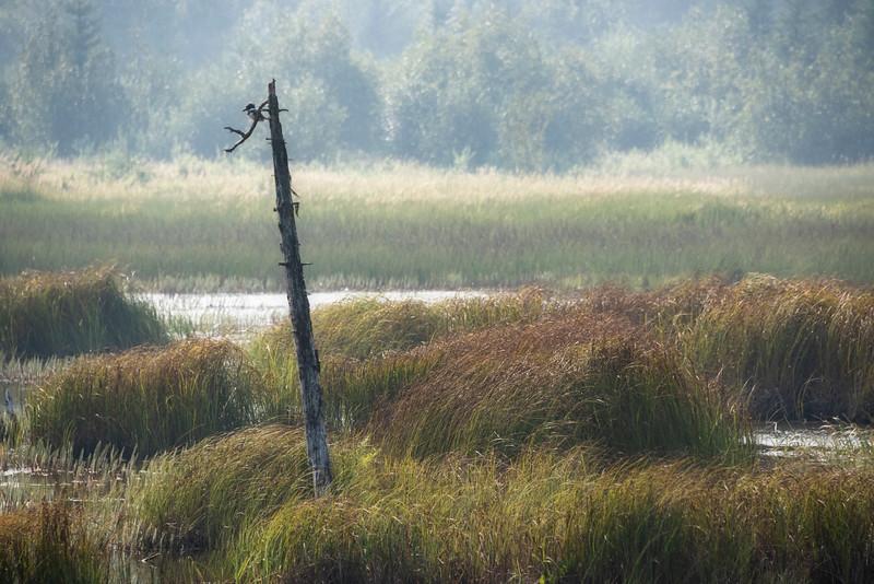 Kingfisher in the Marsh