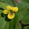 Halberd-leaf violet