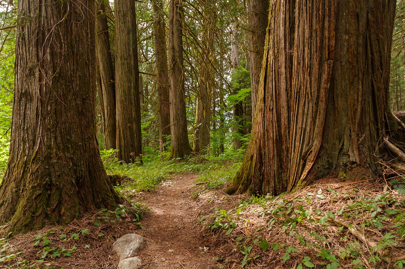 Trail through cedars along Big Beaver Creek, North Cascades NP