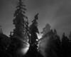 Trees, Norris Geyser Basin