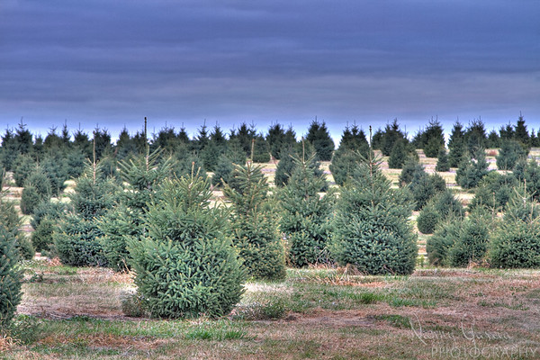 The Christmas Tree Farm