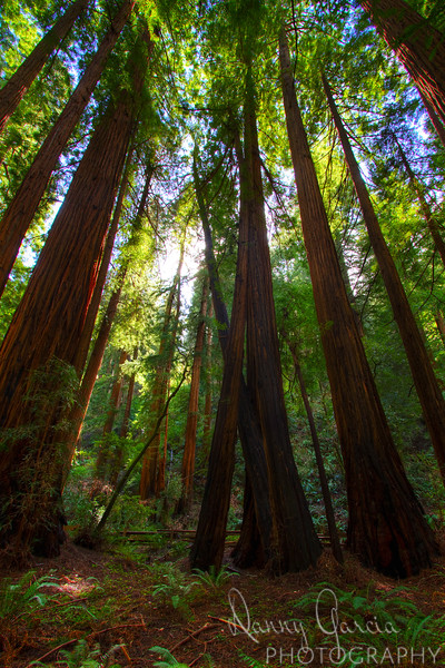 California Coastal Redwood Trees at Muir Woods