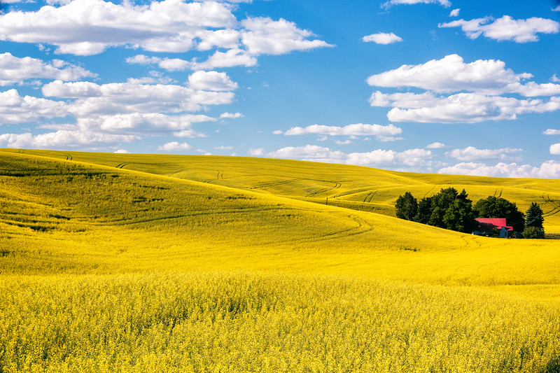 Canola Fields - The Palouse