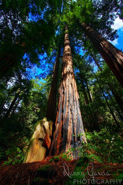 California Coastal Redwood at Muir Woods