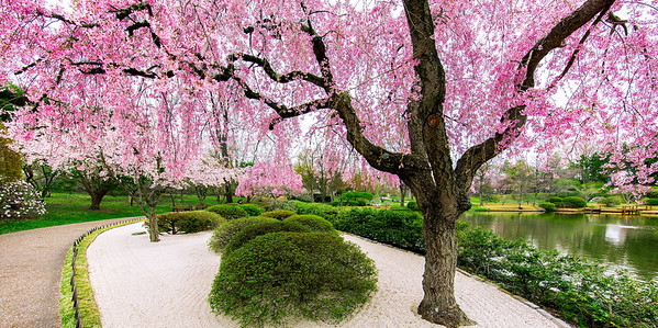 Spring Bloom - Japanese Garden