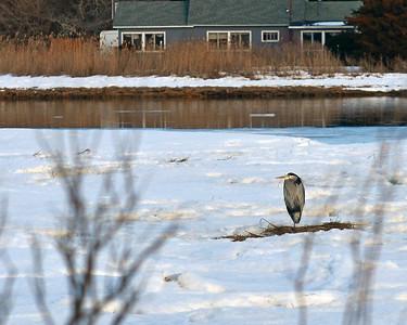 Great Blue Heron on West Creek