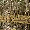 Birches on the Water