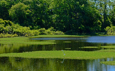 Great White Egret in Hummel's Pond, Southold, NY