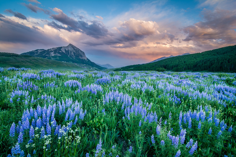 Washington  Gulch Lupines