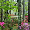 Colorful Azalea Trail - beginning of Spring - Callaway Garden - Pine Mountain, Georgia - USA