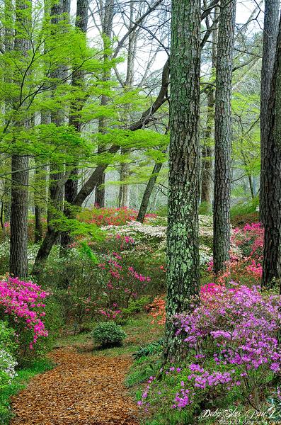 Colorful Azalea Trail - beginning of Spring - Callaway Garden - Pine Mountain, Georgia - USA