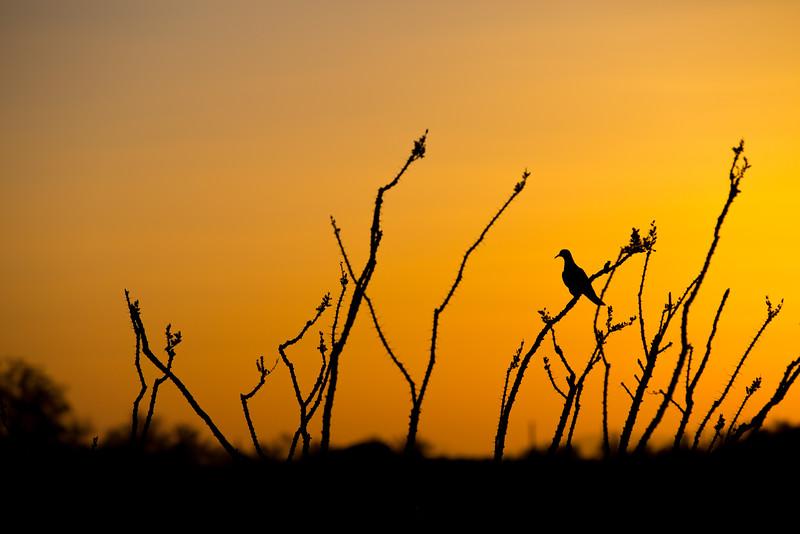 Bird, Saguaro National Park