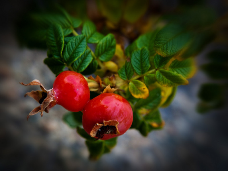 Wild Rose (bud).