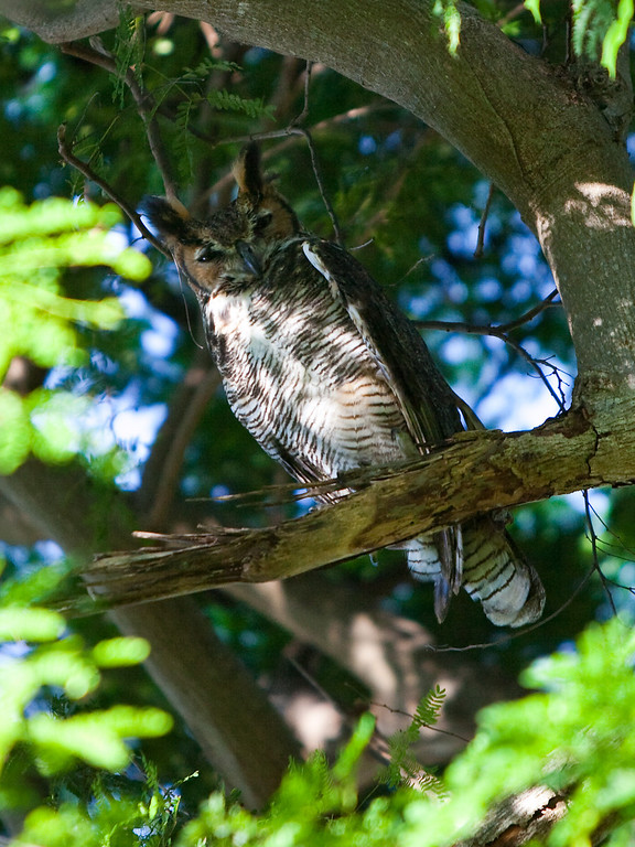 Great Horned Owl Plantation Key