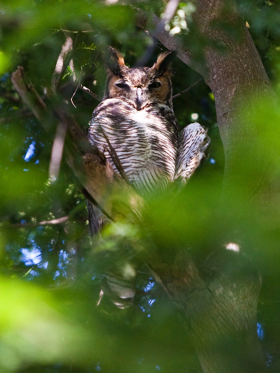 Great Horned Owl Plantation Key