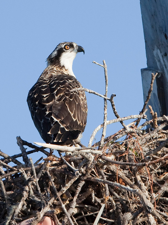 Osprey Over-the-Shoulder