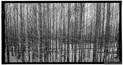 Trees in Black and White    Photography by Wayne Heim